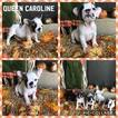 French Bulldog Puppy For Sale in MESA, AZ, USA