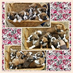 Boxer Litter for sale in ORONOGO, MO, USA