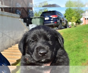 Golden Shepherd Litter for sale in HYATTSVILLE, MD, USA