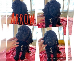 Poodle (Standard) Litter for sale in CO BLUFFS, IA, USA