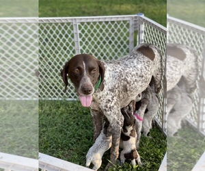 German Shorthaired Pointer Litter for sale in MOUNT HOLLY, NC, USA