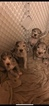 Great Dane Puppy For Sale in FAIR HAVEN, MI, USA