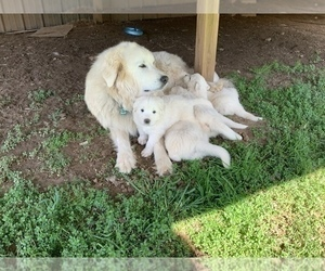 Great Pyrenees Litter for sale in RED HOUSE, WV, USA