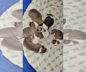 American Bulldog Litter for sale in DAVENPORT, IA, USA