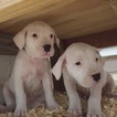 Dogo Argentino Puppy For Sale in JANE, MO, USA
