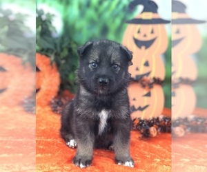 German Shepherd Dog-Siberian Husky Mix Litter for sale in LAKELAND, FL, USA