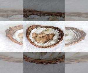 Golden Retriever-Goldendoodle Mix Litter for sale in CORDOVA, TN, USA