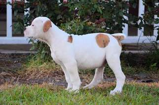 American Bulldog Litter for sale in KINGSLAND, GA, USA