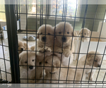 Golden Retriever Puppy For Sale in AUMSVILLE, OR, USA