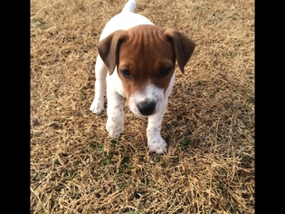 Jack Russell Terrier Litter for sale in ANNA, TX, USA