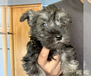 Schnauzer (Miniature) Litter for sale in THORNTON, CO, USA