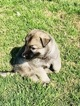 German Shepherd Dog-Timber Wolf Mix Puppy For Sale in BROKEN ARROW, OK, USA