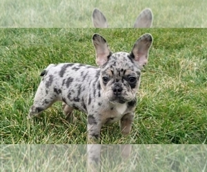 French Bulldog Litter for sale in SUGARCREEK, OH, USA