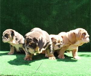 Bulldog Litter for sale in SANTA ANA, CA, USA