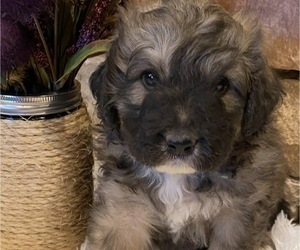 Great Pyrenees-Poodle (Miniature) Mix Litter for sale in BOWLING GREEN, OH, USA