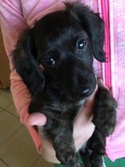 Dachshund Puppy For Sale in RIALTO, CA, USA