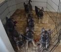 German Shepherd Dog-Norwegian Elkhound Mix Puppy For Sale in GARDEN CITY, CO, USA