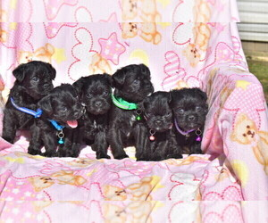 Pug-A-Poo Litter for sale in MECHANICSVILLE, MD, USA