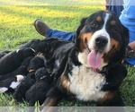 Bernese Hound-Poodle (Miniature) Mix Puppy For Sale in STILLWATER, OK, USA