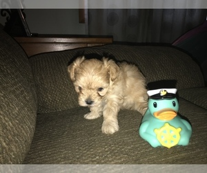 Morkie Litter for sale in MUSCATINE, IA, USA