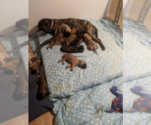 Mastiff Litter for sale in TONOPAH, AZ, USA