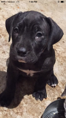Presa Canario Litter for sale in CHICAGO, IL, USA