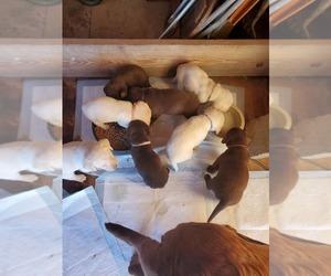 Labrador Retriever Litter for sale in HEDRICK, IA, USA