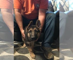 German Shepherd Dog Litter for sale in OTTUMWA, IA, USA