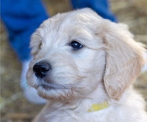 Goldendoodle Litter for sale in OXFORD, MS, USA