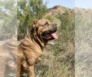 Cane Corso Litter for sale in AMARILLO, TX, USA