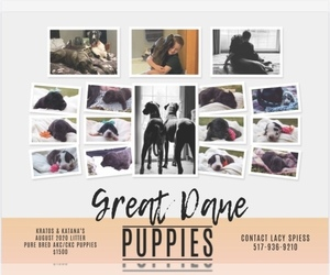 Great Dane Litter for sale in HORTON, MI, USA