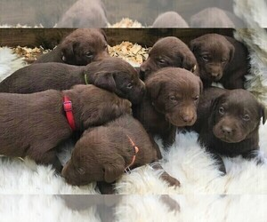 Labrador Retriever Litter for sale in WILLARD, MO, USA