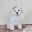 Poodle (Toy) Puppy For Sale in WARSAW, IN, USA