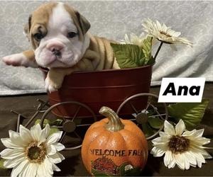 Bulldog Litter for sale in BEACHWOOD, NJ, USA