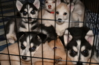 Siberian Husky Puppy For Sale in CHANDLER, AZ, USA