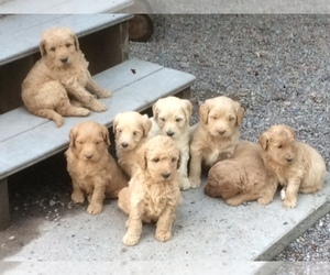 Double Doodle Litter for sale in KALISPELL, MT, USA