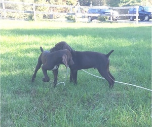 German Shorthaired Pointer Litter for sale in WATERTOWN, NY, USA