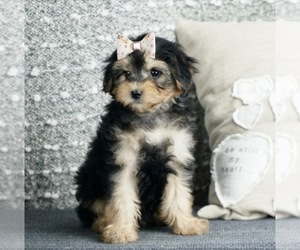 Poodle (Toy)-Yorkshire Terrier Mix Litter for sale in WARSAW, IN, USA