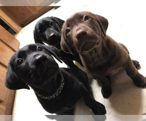 Labrador Retriever Litter for sale in DEER PARK, WA, USA