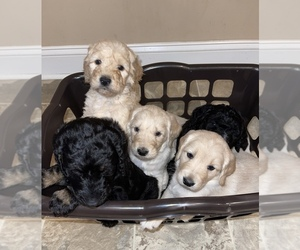 Goldendoodle Litter for sale in RICHMOND, KY, USA