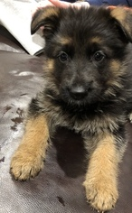 German Shepherd Dog Litter for sale in CARTERSVILLE, GA, USA