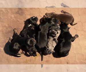 Miniature Australian Shepherd Litter for sale in STEPHENVILLE, TX, USA