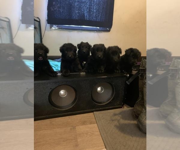 Medium Photo #1 German Shepherd Dog Puppy For Sale in WILLISTON, FL, USA