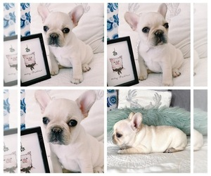 French Bulldog Litter for sale in NORCO, CA, USA