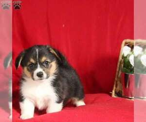 Pembroke Welsh Corgi Litter for sale in MILLERSBURG, PA, USA
