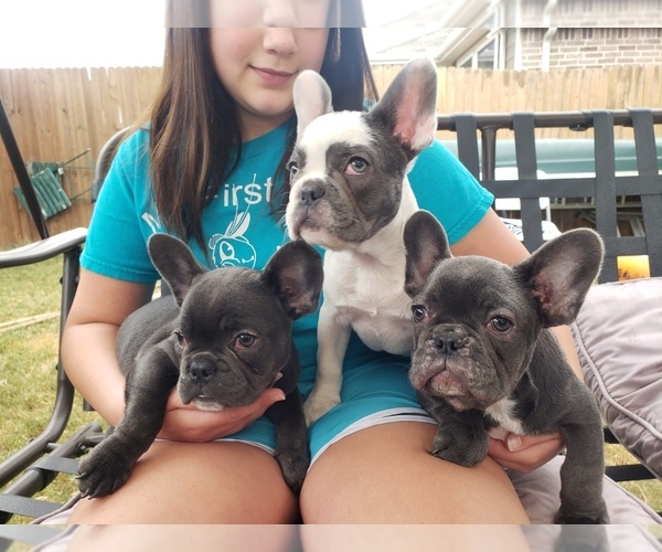 Medium Photo #1 French Bulldog Puppy For Sale in LITTLE ELM, TX, USA