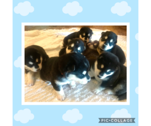 Alaskan Malamute Litter for sale in IGNACIO, CO, USA