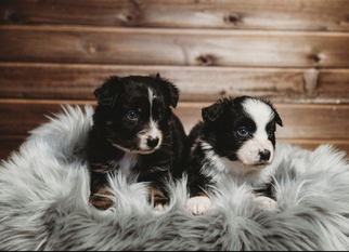 Australian Shepherd Litter for sale in CAMAS, WA, USA