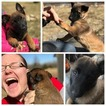 Belgian Malinois Puppy For Sale in WEST PLAINS, MO, USA