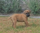 Bullmastiff Puppy For Sale in BELLVILLE, TX, USA